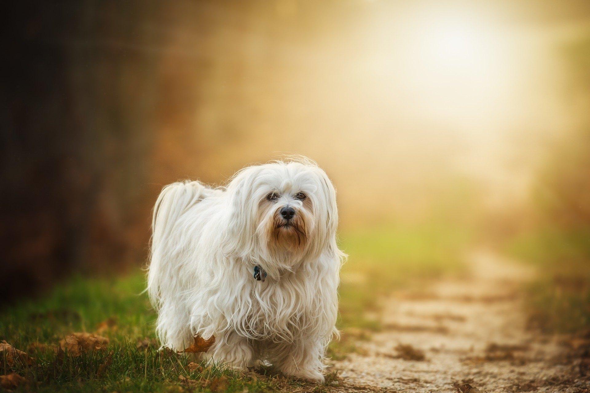 Havaneský psík je společenský pes. Je nesmírně přítulný, soucitný, veselý a energický a velmi rád si hraje.