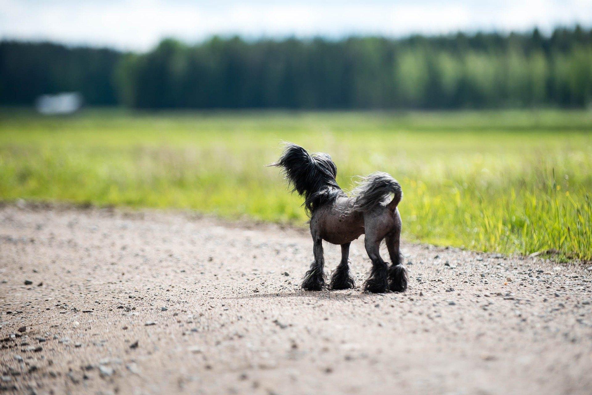 Čínský chocholatý pes je pes neobvyklého vzhledu. Je živý, veselý, aktivní a zároveň poslušný chovateli.