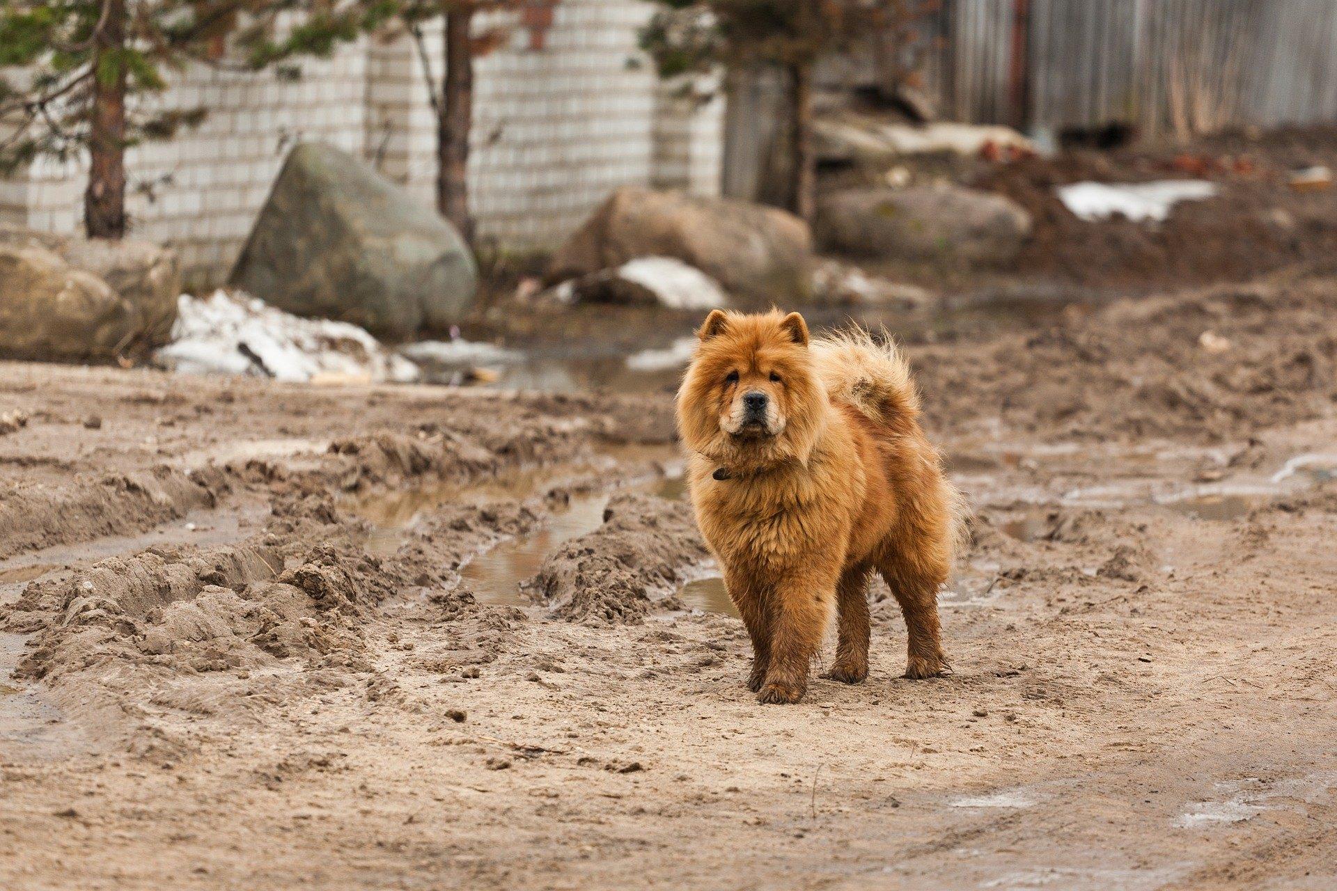 Chow Chow je psí plemeno původem z Číny, které se vyznačuje načechranou srstí a mírně modrým jazykem.
