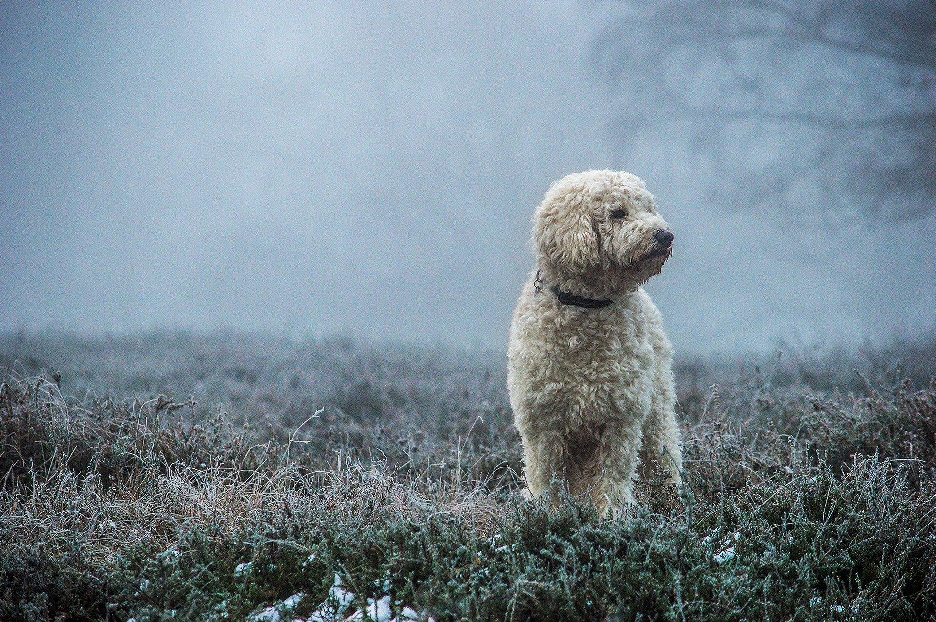 Goldendoodle je plemeno vzniklé křížením pudla a zlatého retrívra. Jsou dokonalým rodinným a společenským psem.