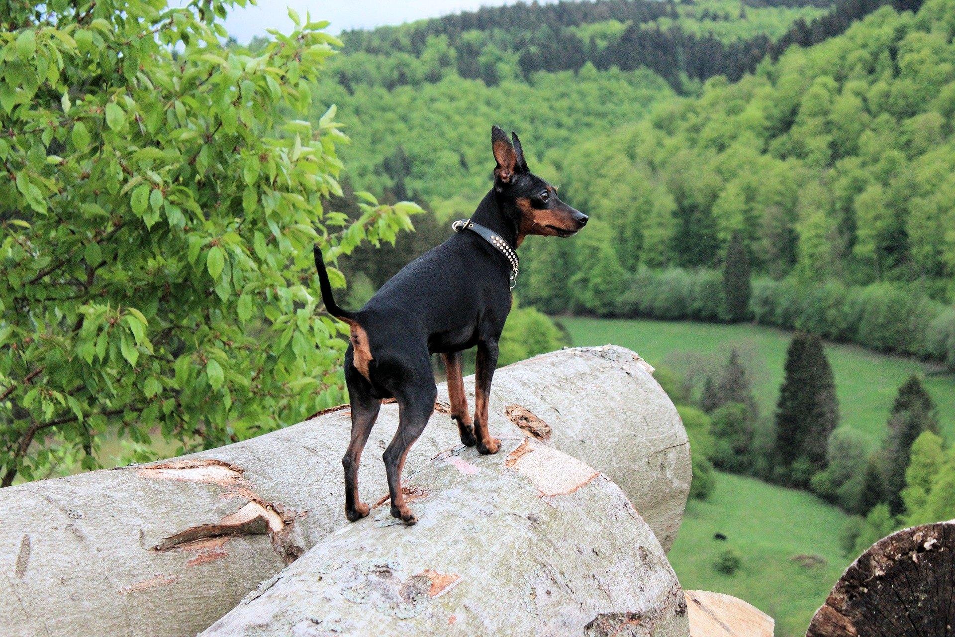 Miniaturní pinč,  je malý, aktivní a energický pes.