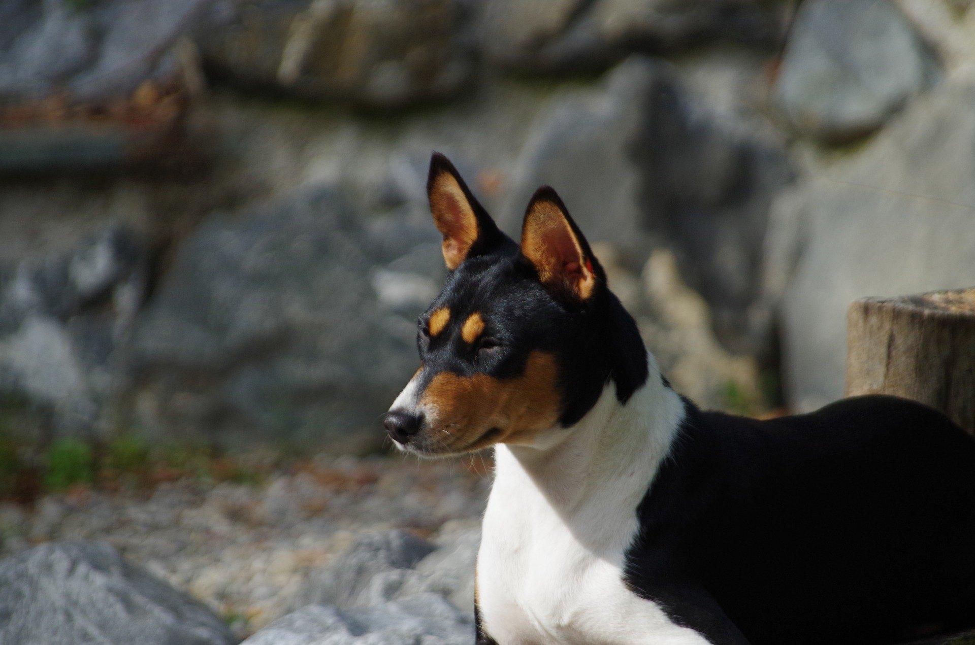 Basenji je pes původem z Afriky. Má vysoce vyvinutý lovecký instinkt. Je velmi citlivý a rád si hraje. Jakou péči vyžaduje toto plemeno?