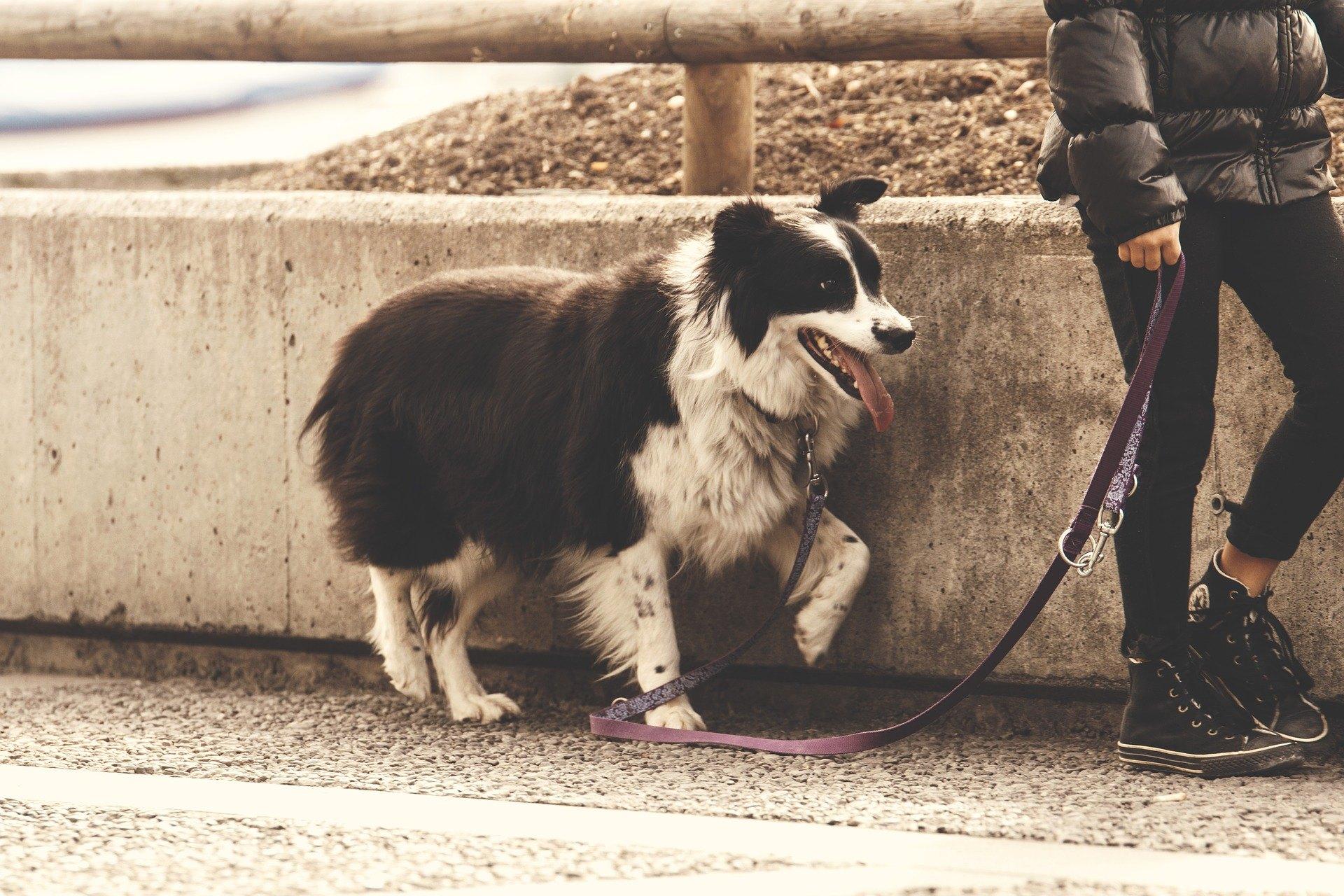 Naučit se chodit se psem na vodítku není snadné. Je to však velmi důležité a prospěšné jak pro pánička, tak pro psa. Umožní vám chodit bez tahání.