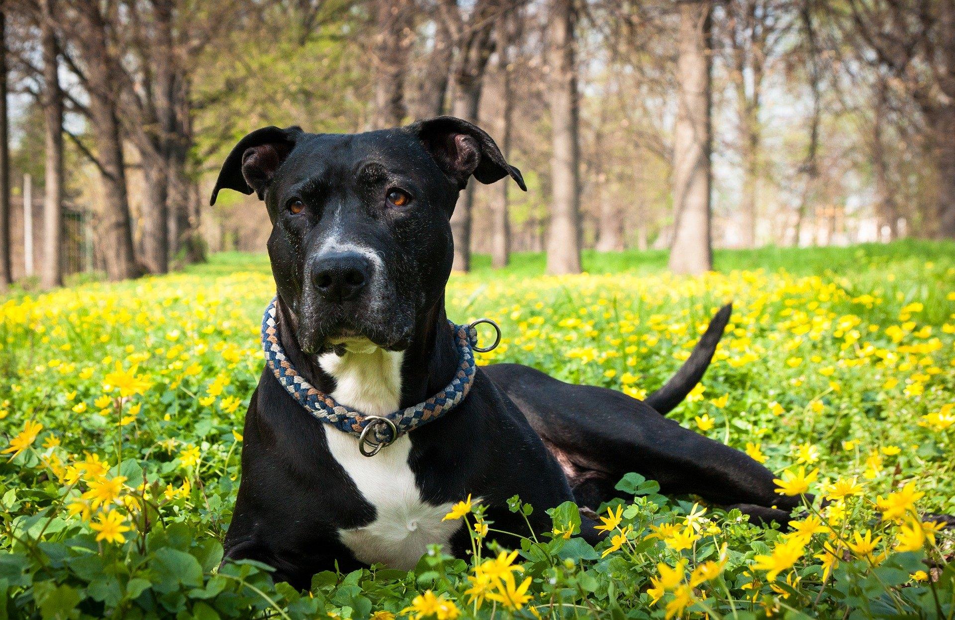 Americký pitbulteriér, navzdory tomu, že se používal pro psí zápasy, se vyznačuje velkou citlivostí.