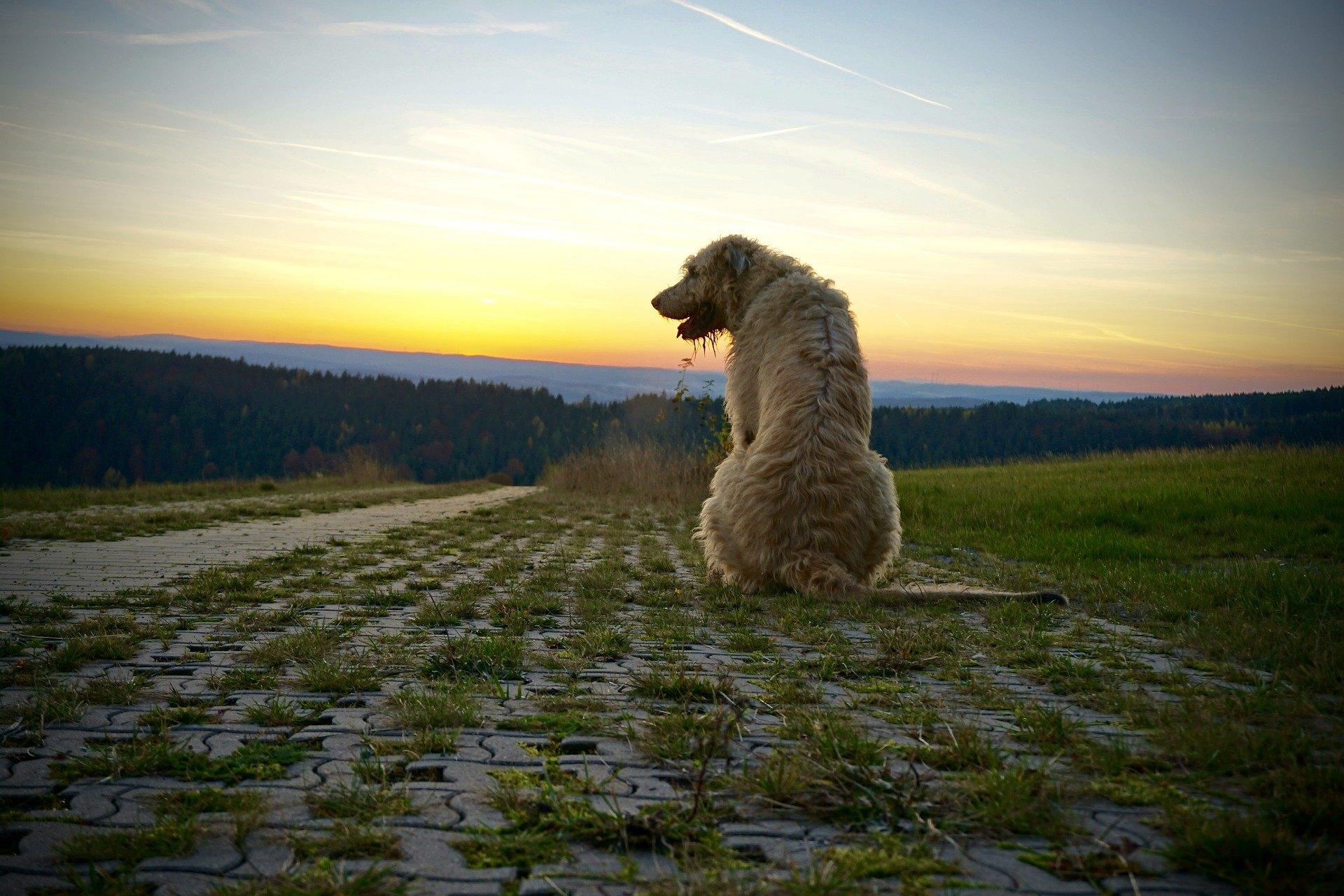 Irský vlkodav, přestože je silný a elegantní pes, se vyznačuje citlivostí a oddaností. Jakou potřebuje péči a výživu pro spokojený život?