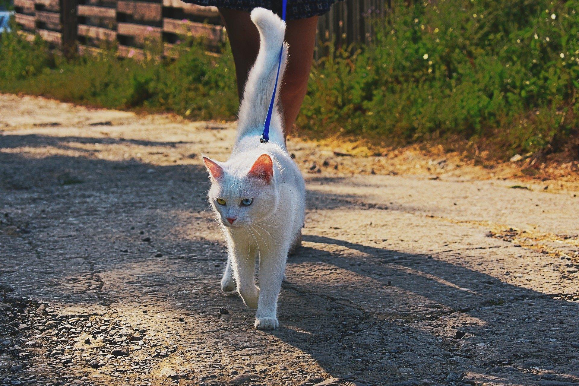 Kočka na vodítku můžeme potkat stále častěji. Výcvik chůze na vodítku by se měl začít, když je kočka v mladém věku.