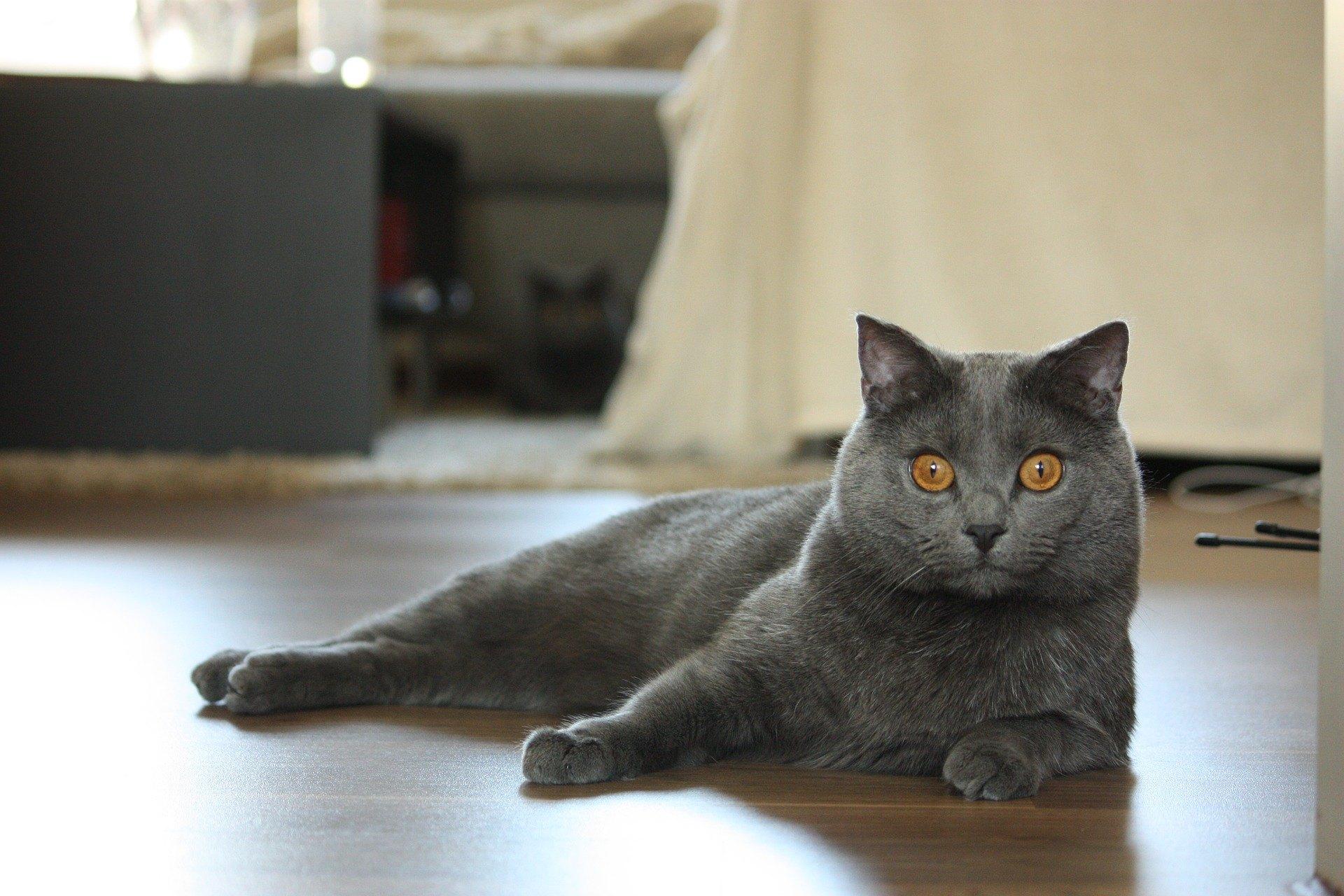 Kartouzská kočka je inteligentní plemeno, které se snadno učí.