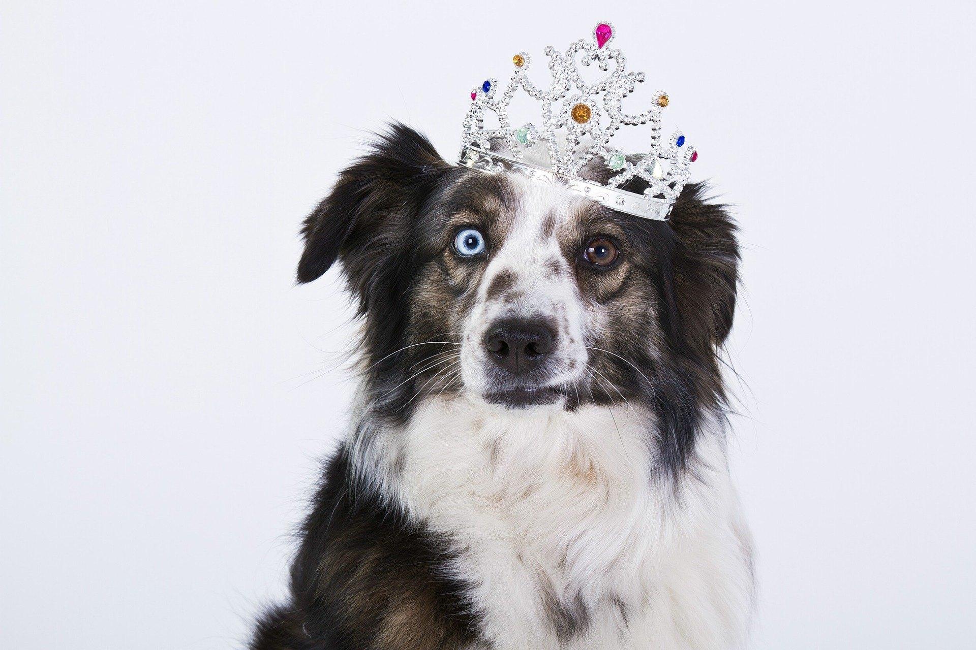 Zánět spojivek u psů je běžným problémem. Projevuje se mimo jiné silné slzení, hyperemie a otok spojivky.