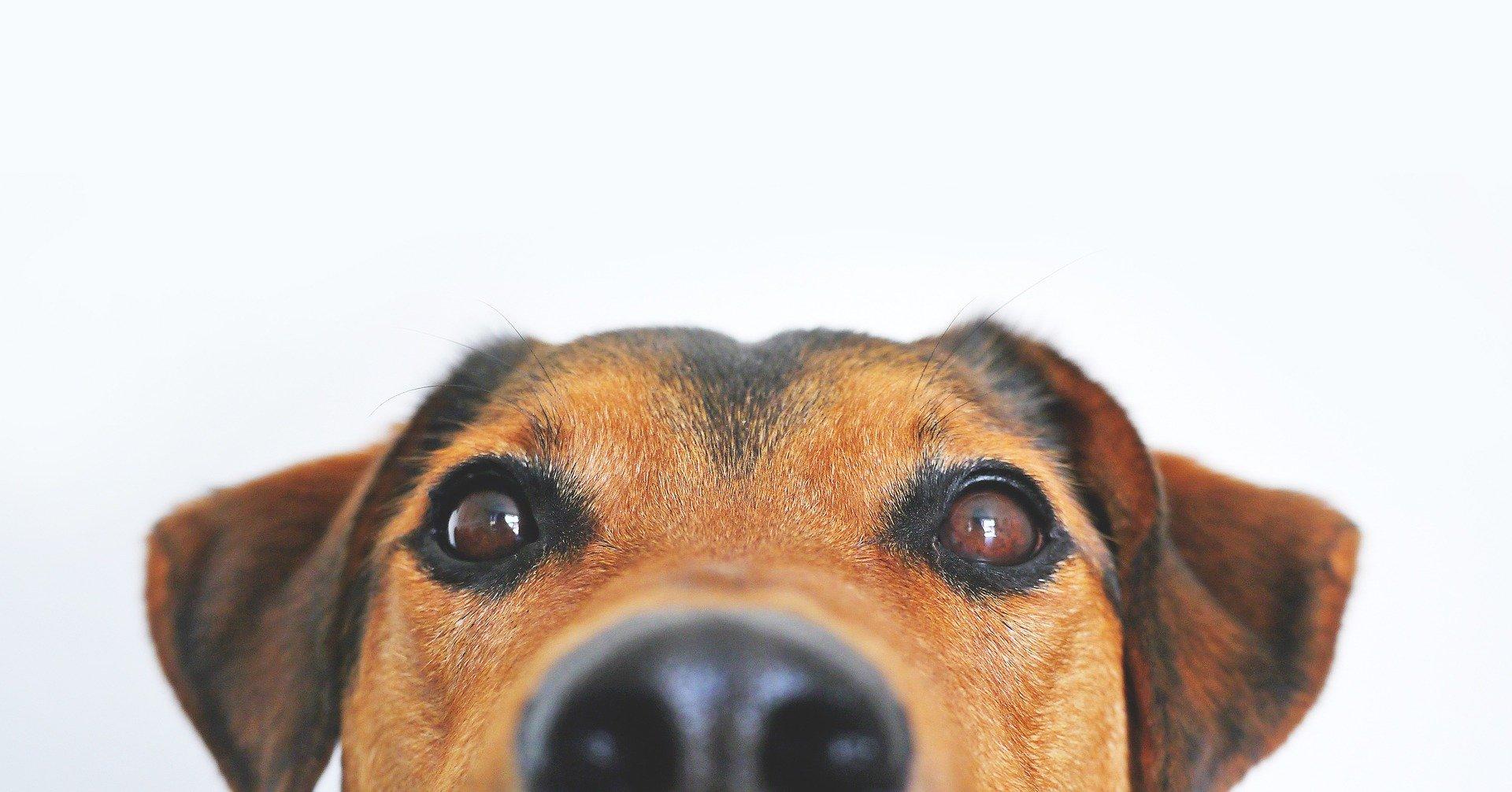 Pes má mnohem širší zorné pole než člověk a vidí lépe ve tmě, ale nedokáže rozlišit všechny barvy.