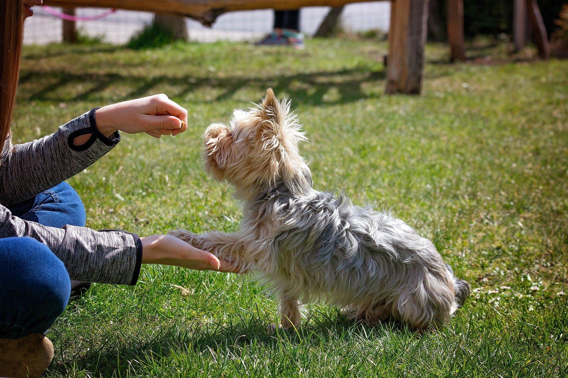 Díky povelům se naučí pes poslouchat. Je to také způsob, jak psa zabavit a zároveň budovat vztah mezi psem a chovatelem.