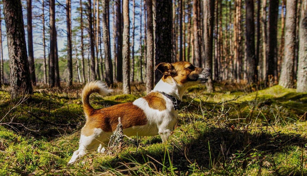 Aktivní, tvrdohlavý, veselý a živý - takové vlastnosti jsou podobné Jack Russel Terrier?