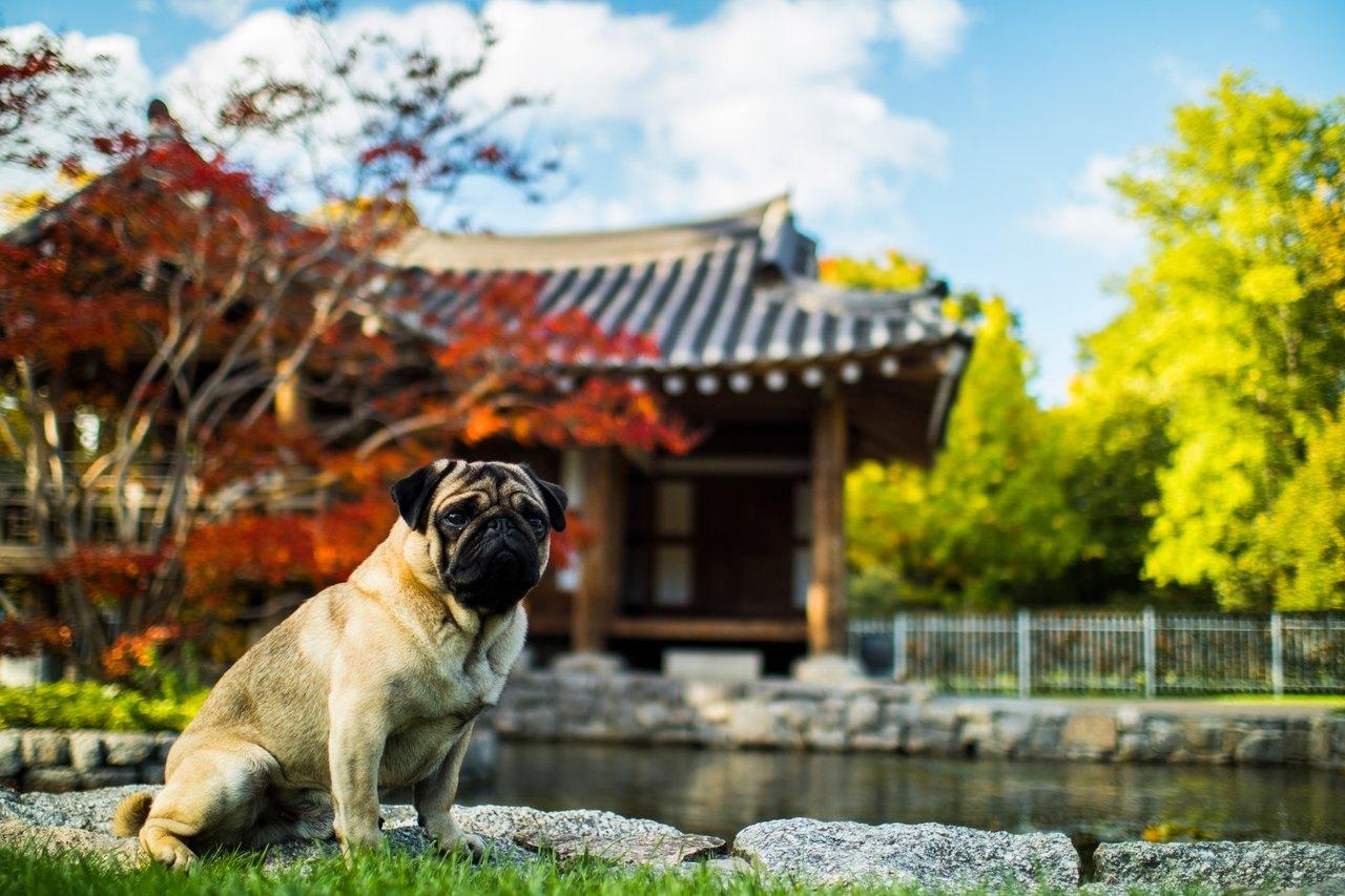 Mops je malý pes s obrovským a láskyplným srdcem