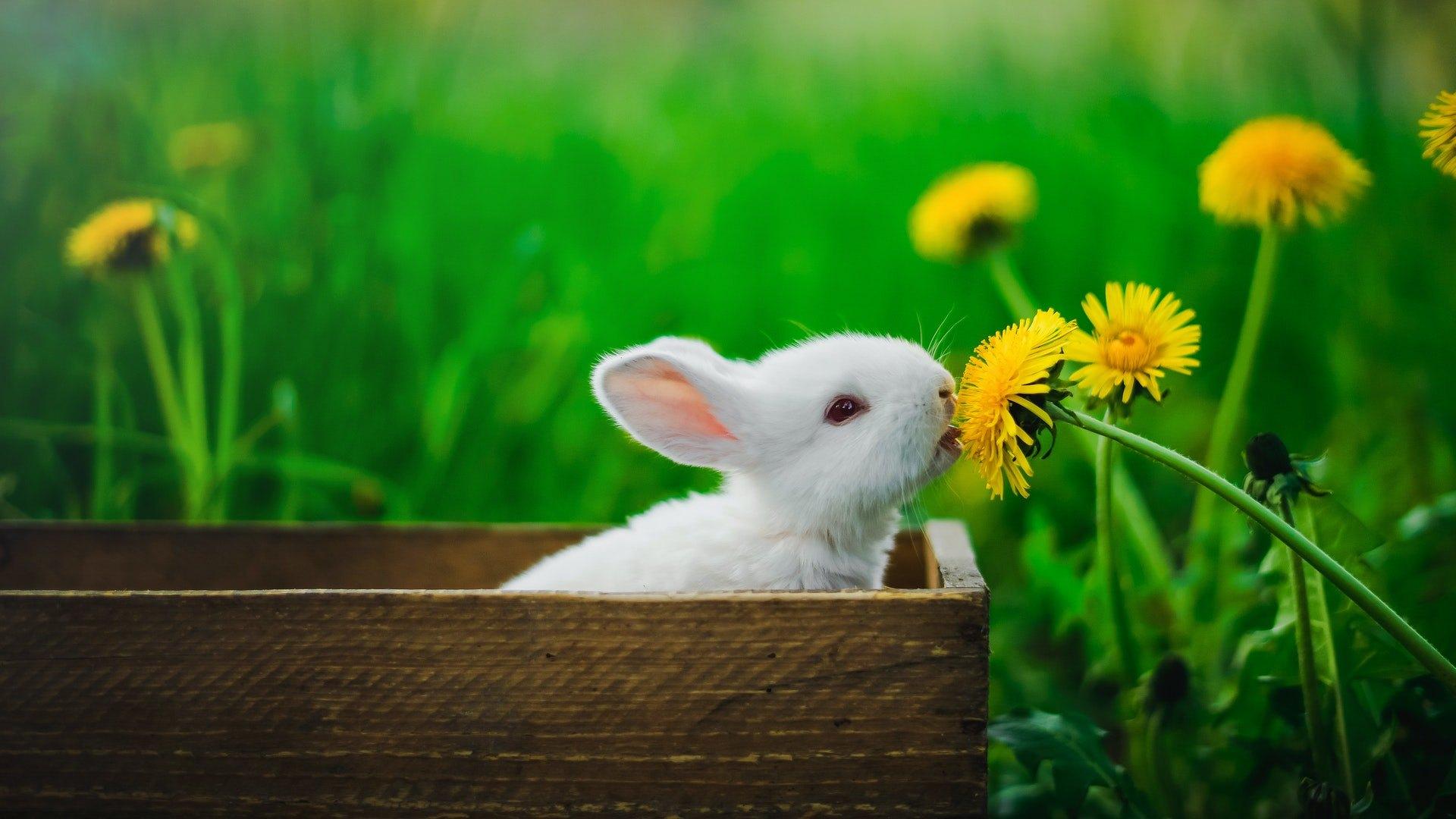 Jak se myxomatóza projevuje u králíka? Je to vážná nemoc?