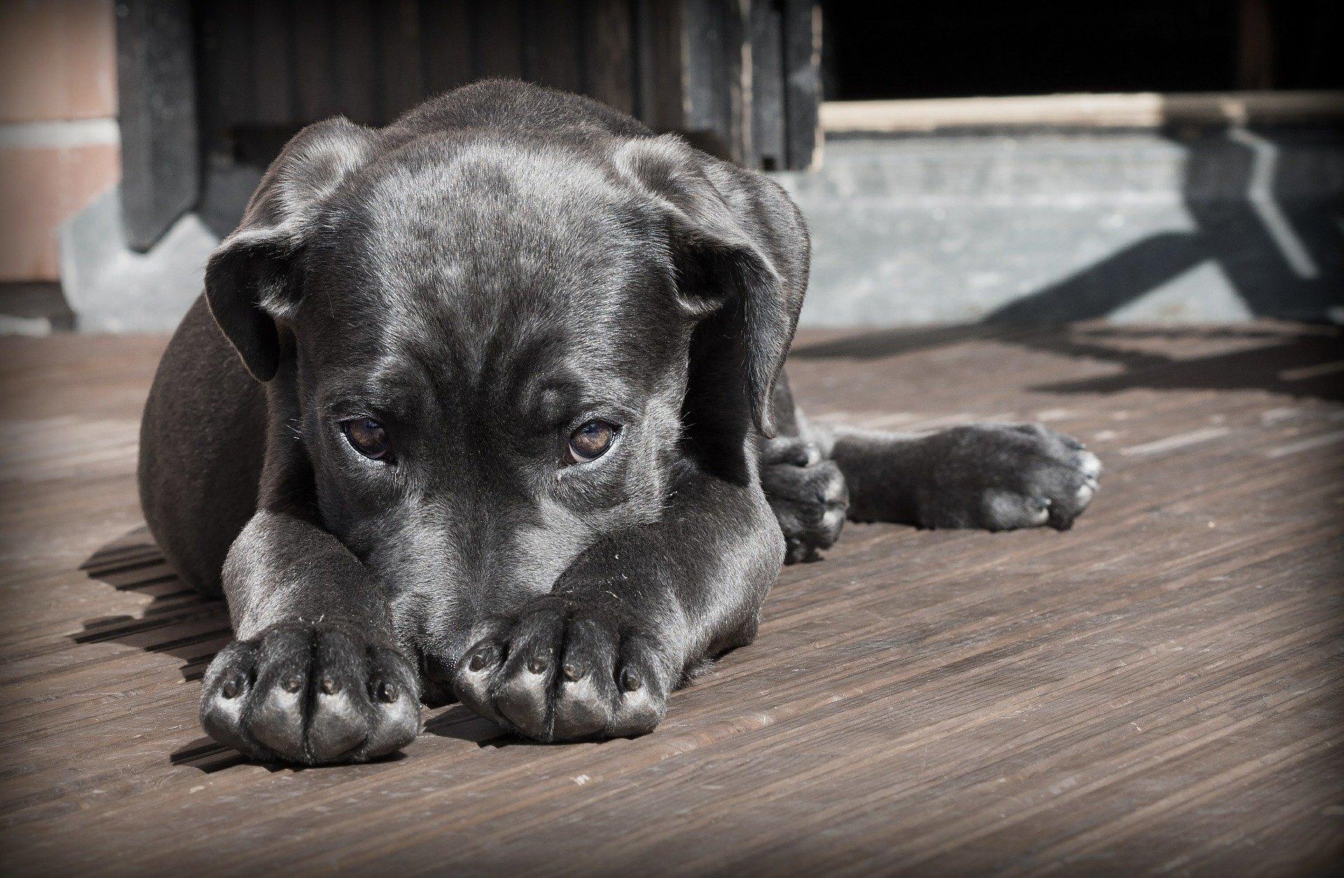 Zánět močového měchýře u psa je relativně neškodné onemocnění, které může být snadno přehlédnutelné, ale při zanedbání může vést k vážným komplikacím.