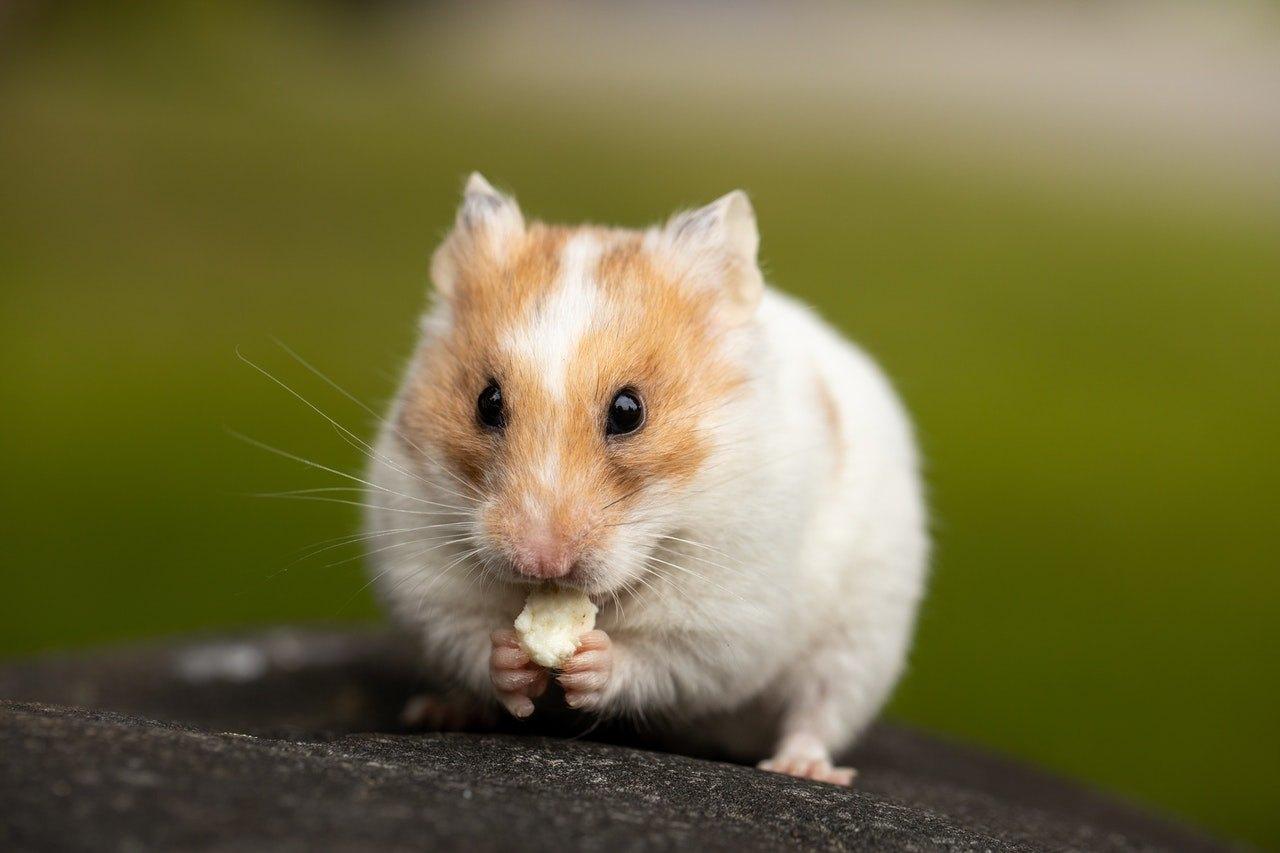 Krmivo pro křečky není jediným jídlem, které mu lze podávat. Křeček si rád doplní stravu o ovocnou nebo zeleninovou svačinku.