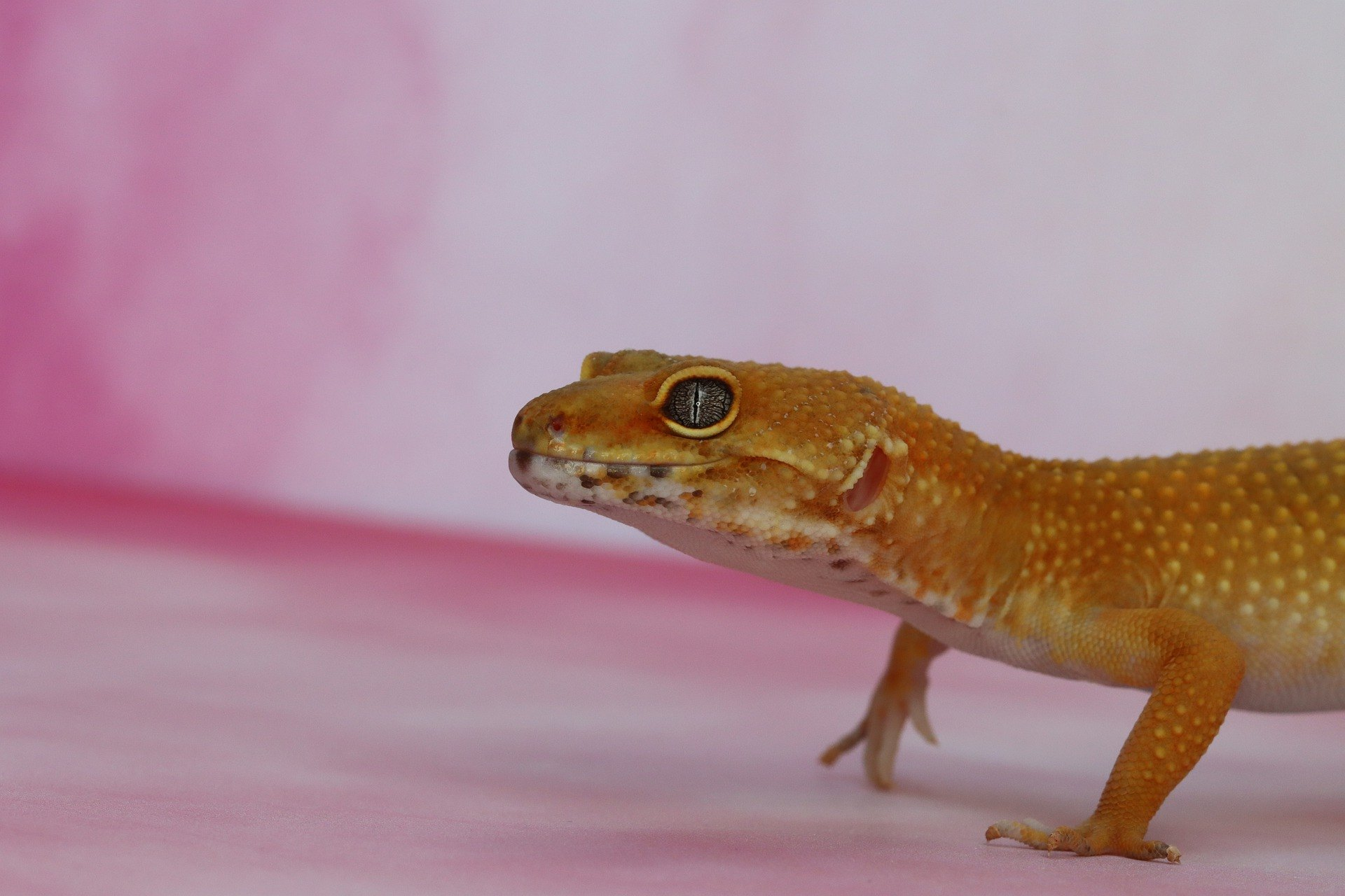 Gekončík noční, pagekon řasnatý, gekon Williamsův nebo panenský gekon jsou nejoblíbenější druhy gekonů pro domácí chov.