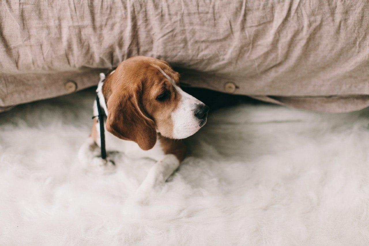 Pankreatitida u psa vyžaduje intenzivní léčbu.