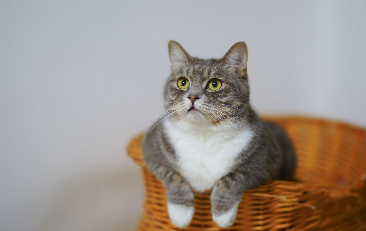 Kočka nebo kocour... rozdíly lze zaznamenat nejen ve struktuře pohlavních orgánů, ale také v obecném vzhledu a chování zvířat.