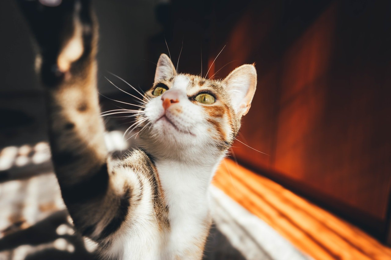Domácí kočka je nejběžnější kočka. Nemá rasový rodokmen. Může mít různý vzhled.