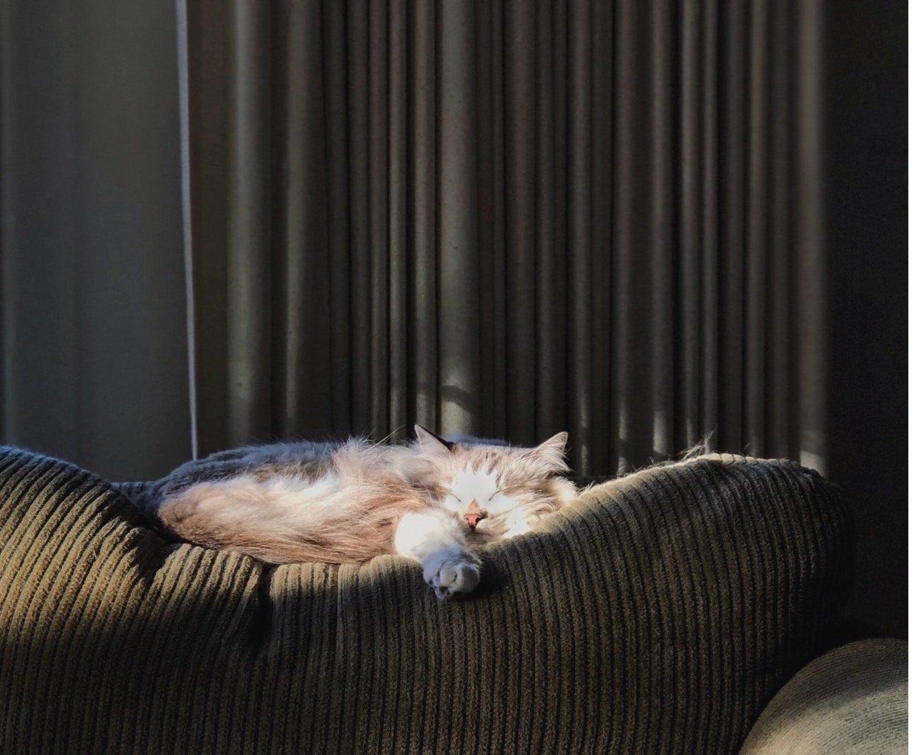 Sibiřská kočka něvská maškaráda je velká kočka s modrýma očima, hedvábnou srstí a barvě colorpoint.