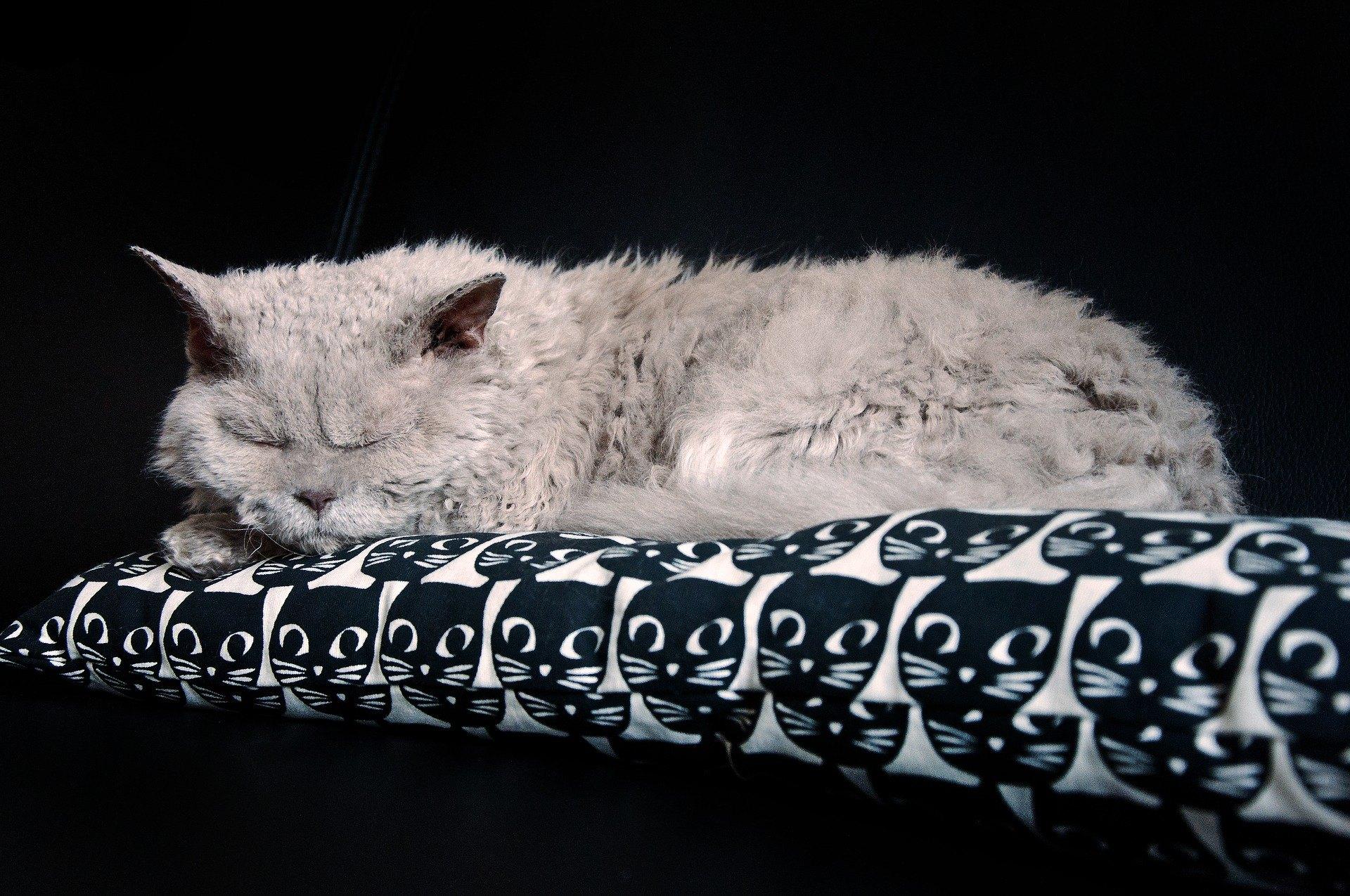 Selkirk rex jsou krásné kočky s jedinečnou srstí, která připomíná ovčí vlnu. Toto plemeno koček se v Evropě objevilo teprve v roce 1992, tedy relativně nedávno. Čím se selkikr rex ještě odlišuje?