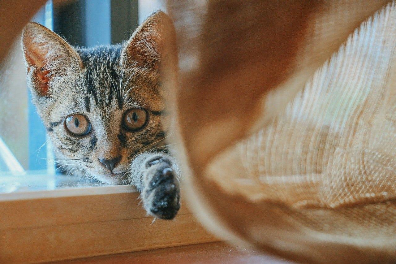Kontroverzní plemeno uznané pouze přes TICA, správně? Příběh kočky s velkým srdcem v malém těle.