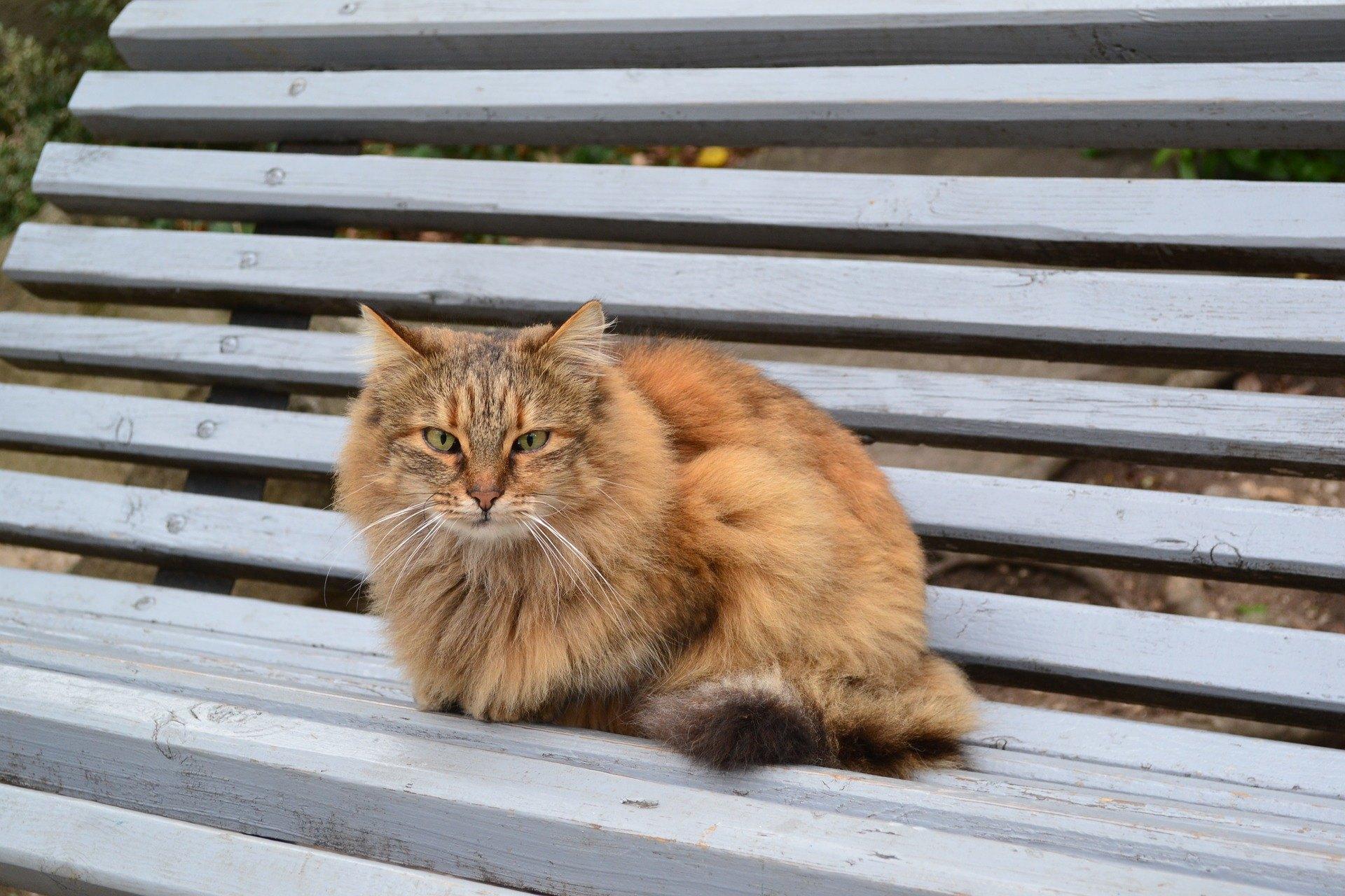 Kočky připomínající lišky jsou polodlouhosrstými příbuznými habešských koček. Seznamte se s výjimečnými somálskými kočkami!