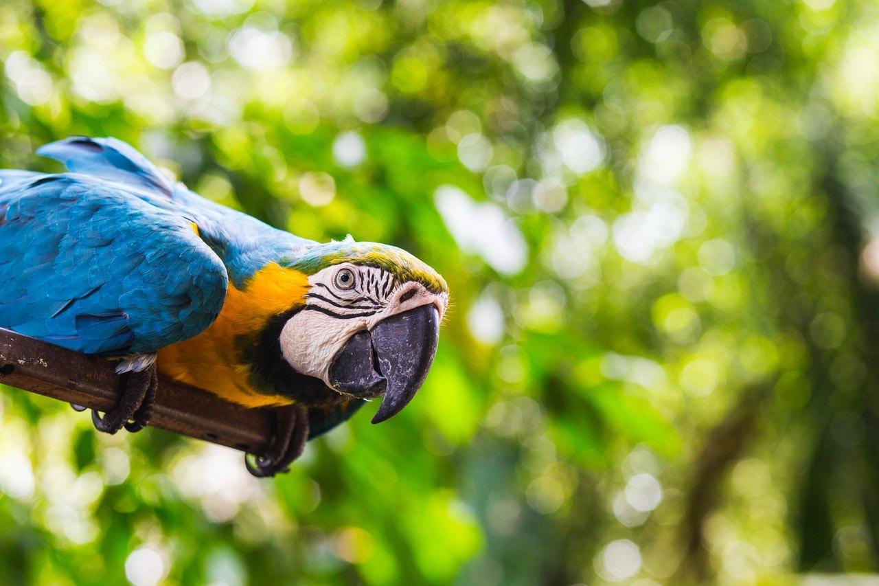 Rozhodnutí pořídit si papouška aru je závazek na spoustu let. Než si jej pořídíte, přečtěte si, co to obnáší!