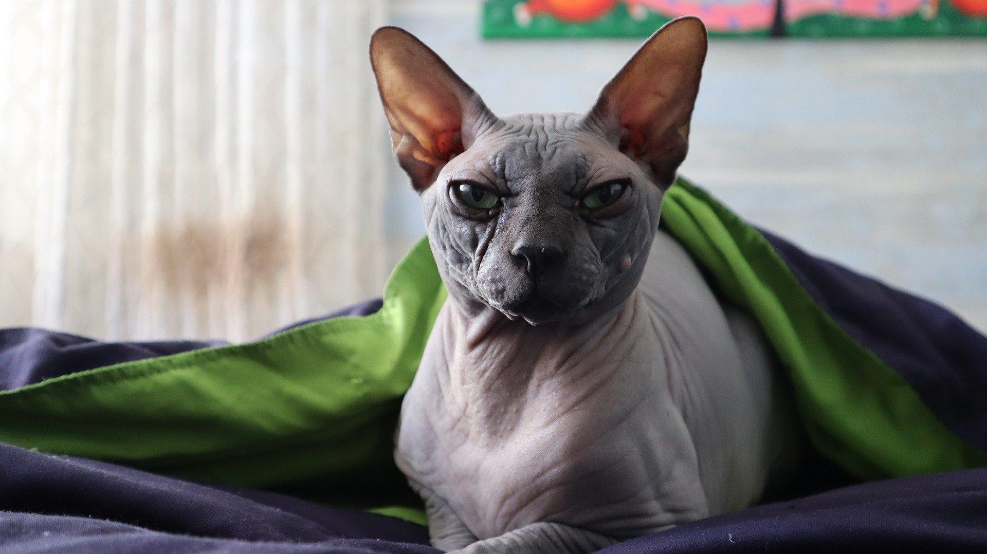Plešaté kočky (bezsrsté) vznikly v důsledku spontánní genetické mutace.