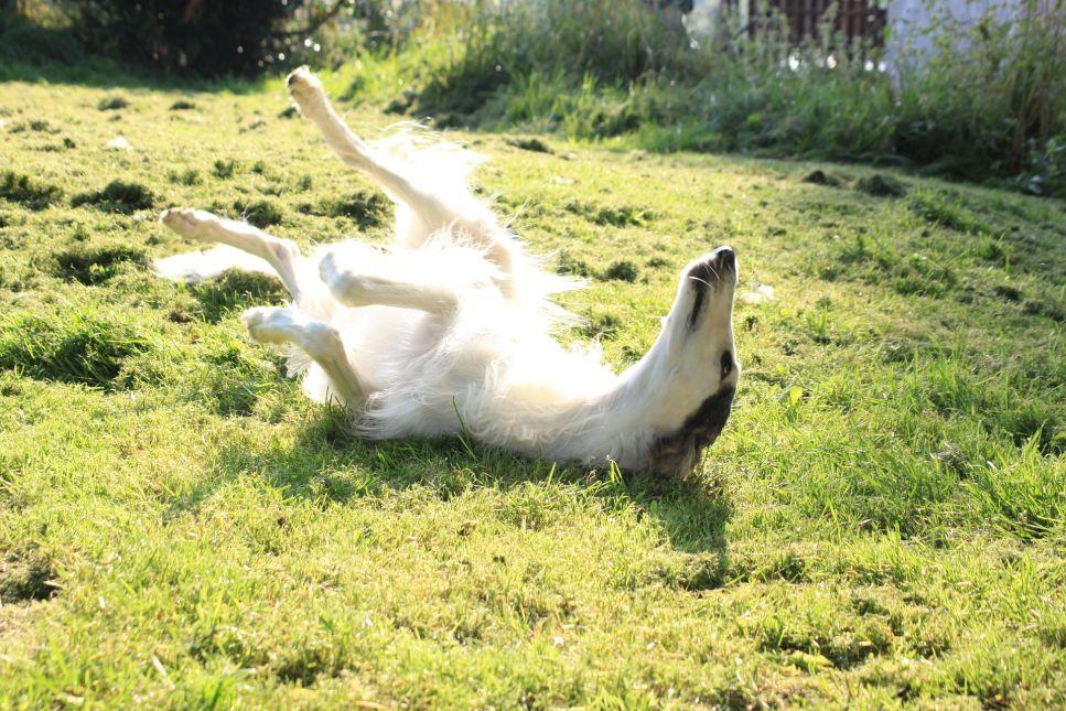 Barzoj, známý také jako ruský chrt, je lovecký pes, který se v současné době používá hlavně jako společenské plemeno.