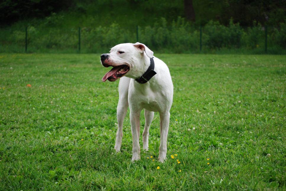 Je argentinská doga nebezpečná? Můžete ji mít doma s dětmi?