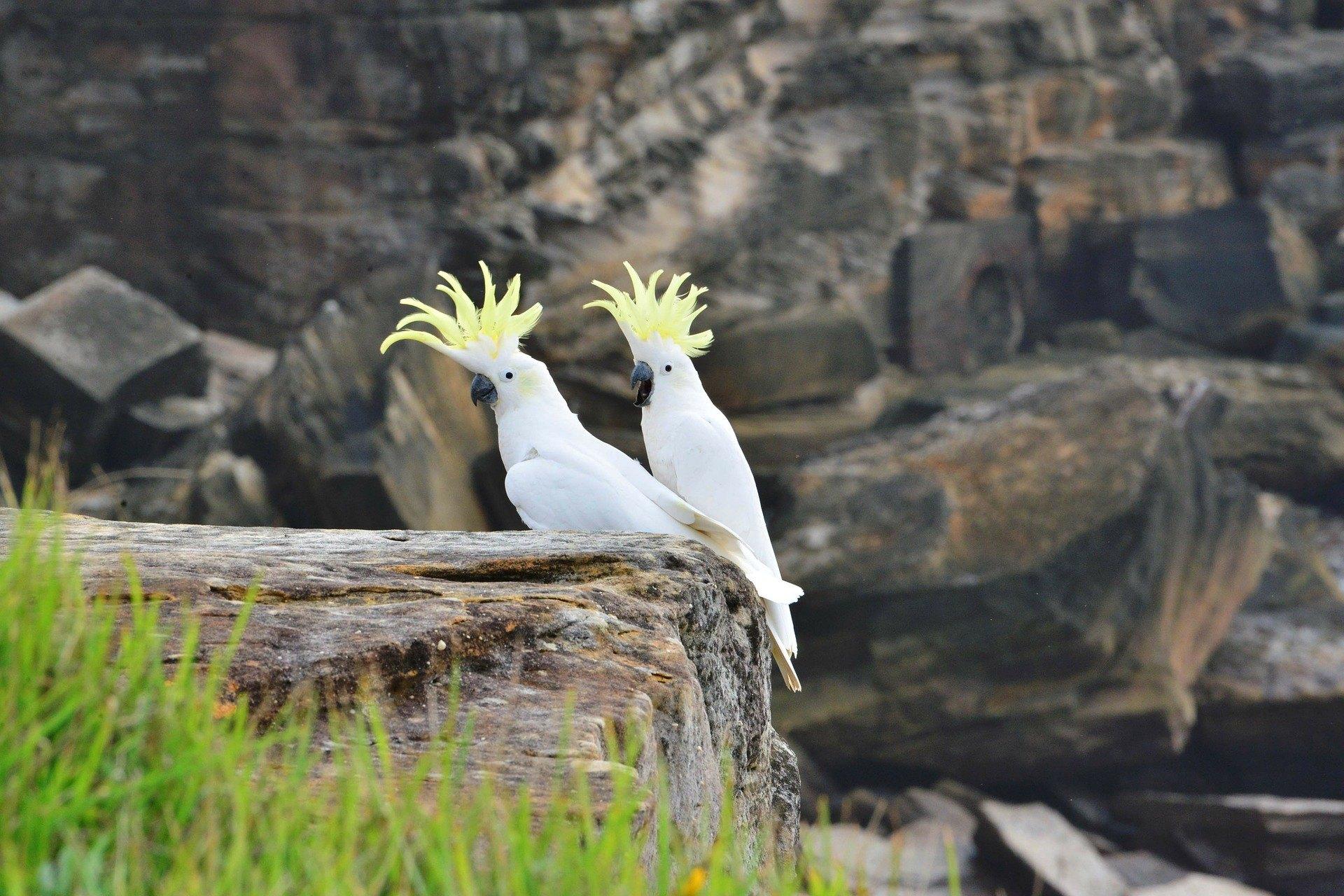 Kakadu je údajně nejlepší ptačí přítel člověka – je to pravda?