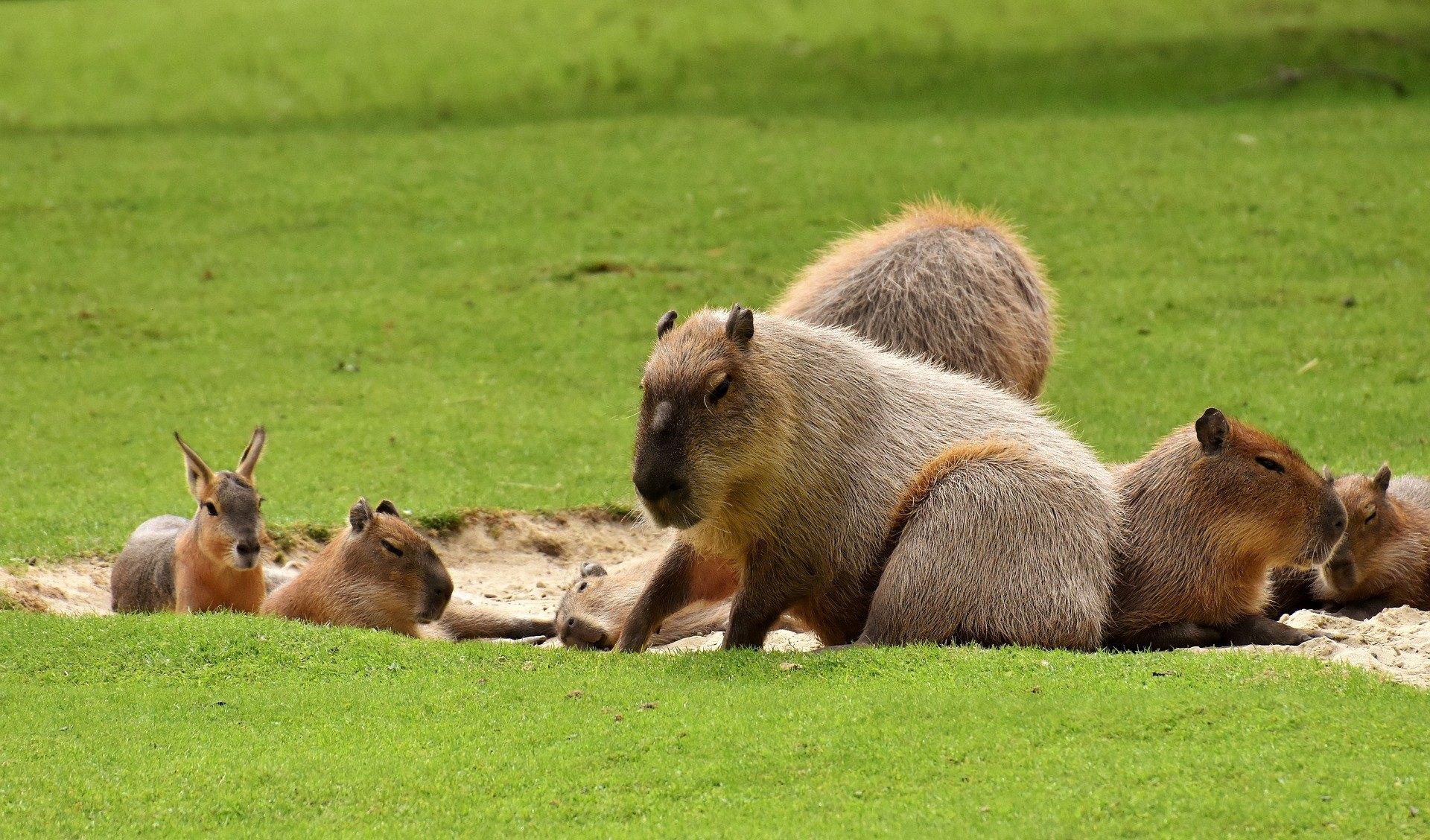 Kapybara je inteligentní a je možné ji ochočit.