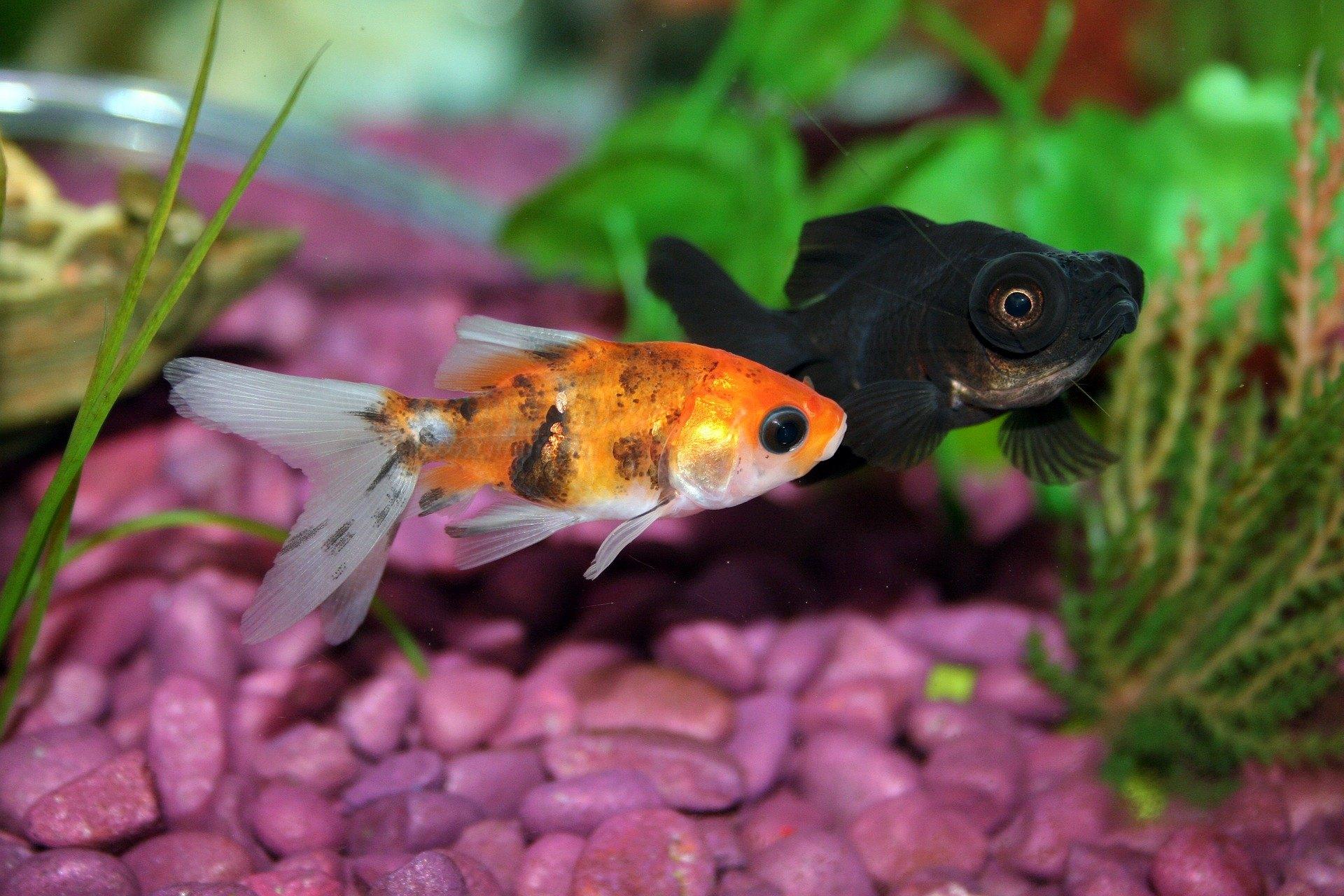 Co jedí akvarijní ryby? Hodně záleží na druhu a způsobu shánění potravy.