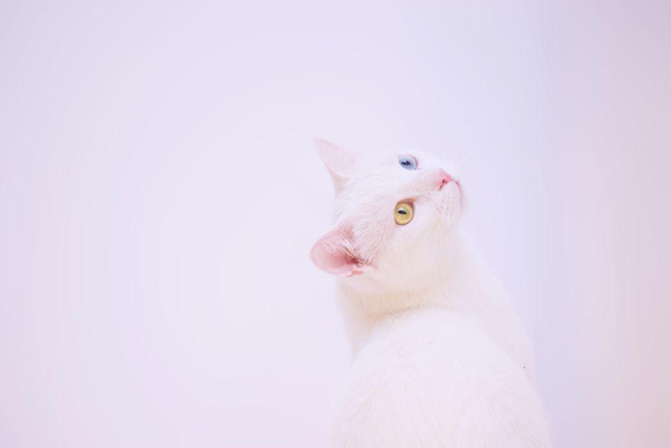 Khao Manee, plemeno pocházející z Thajska, je považováno za nejdražší plemeno koček na světě.
