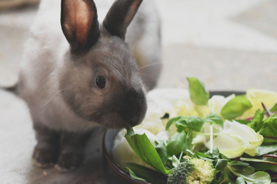Základem stravy králíka by mělo být kompletní krmivo a seno
