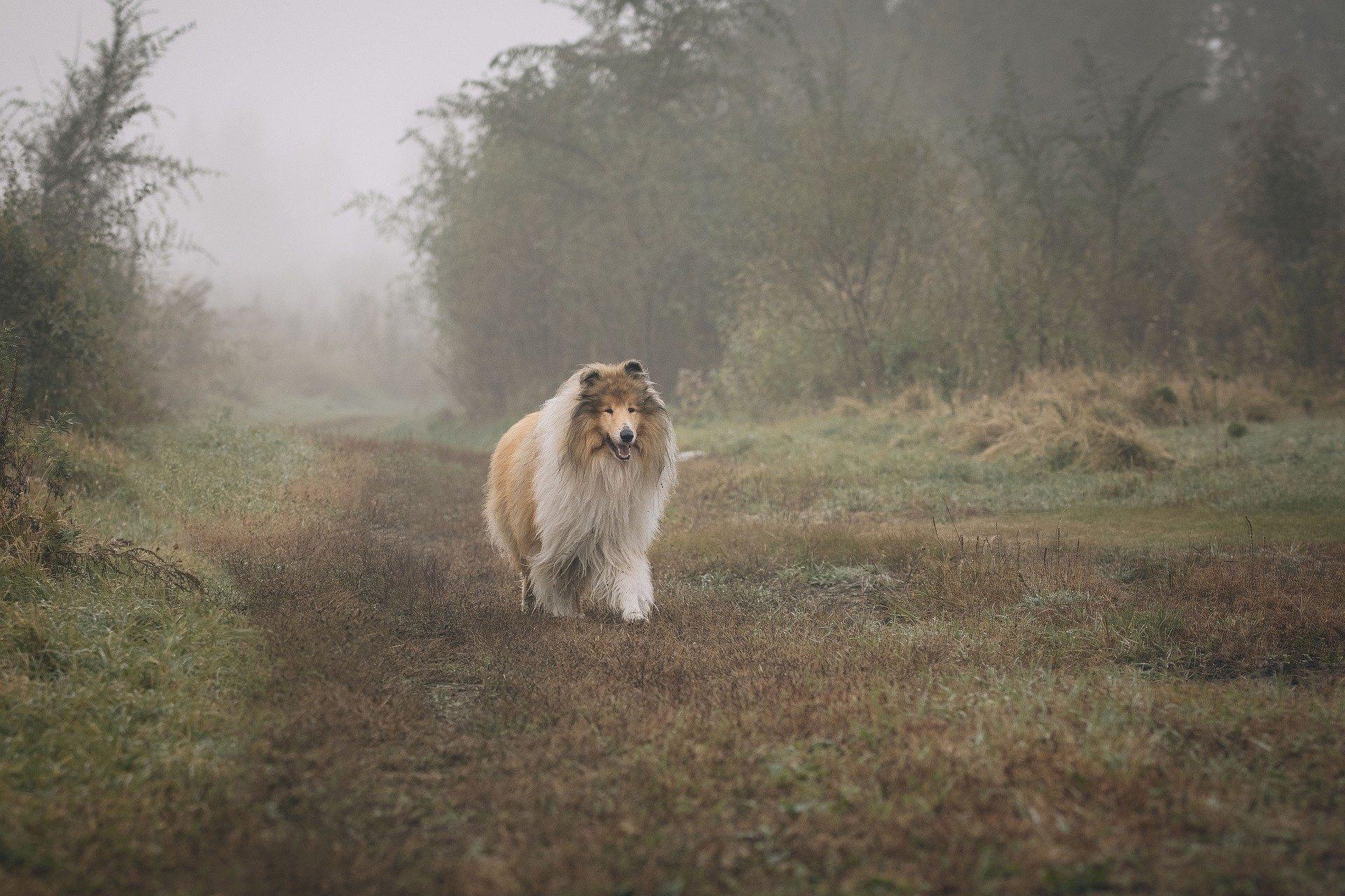 Skotský ovčák, jako hlavní hrdina románu Lassie, byl věrný a rodinný pes.