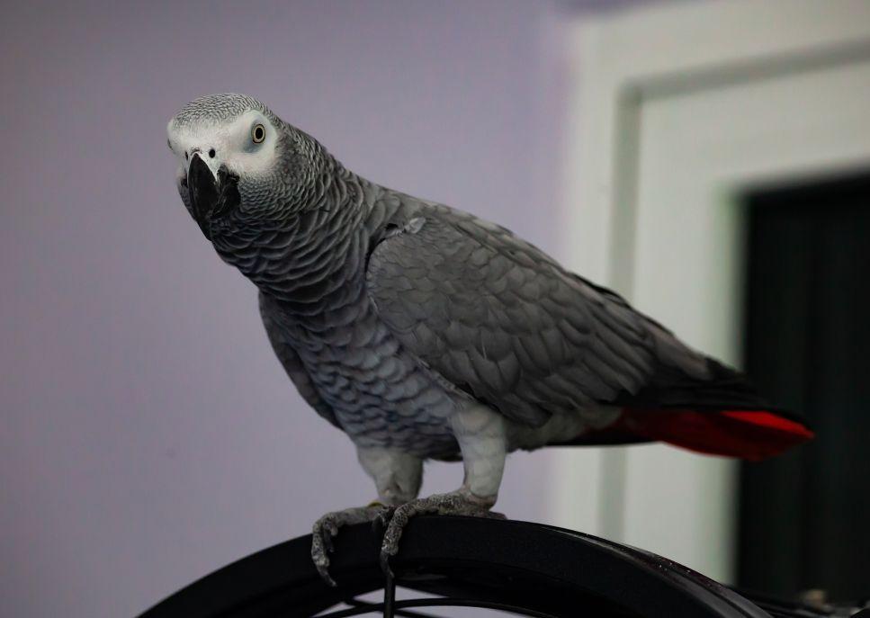 Papoušek šedý je netradiční pták, věrný a oddaný, a zároveň i velmi upovídaný.