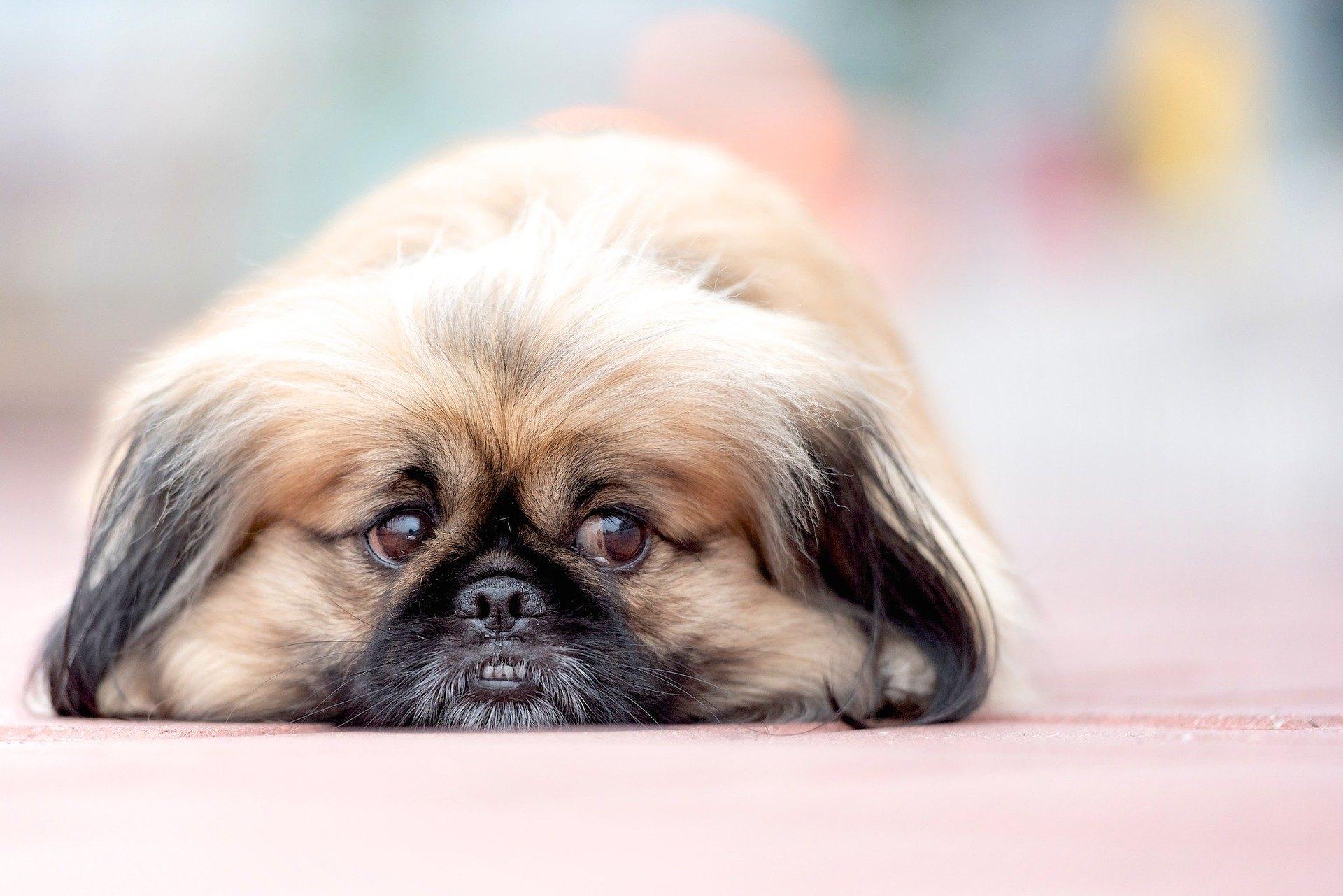 Pekingský palácový psík je jedním z nejvíce odměřených psů.