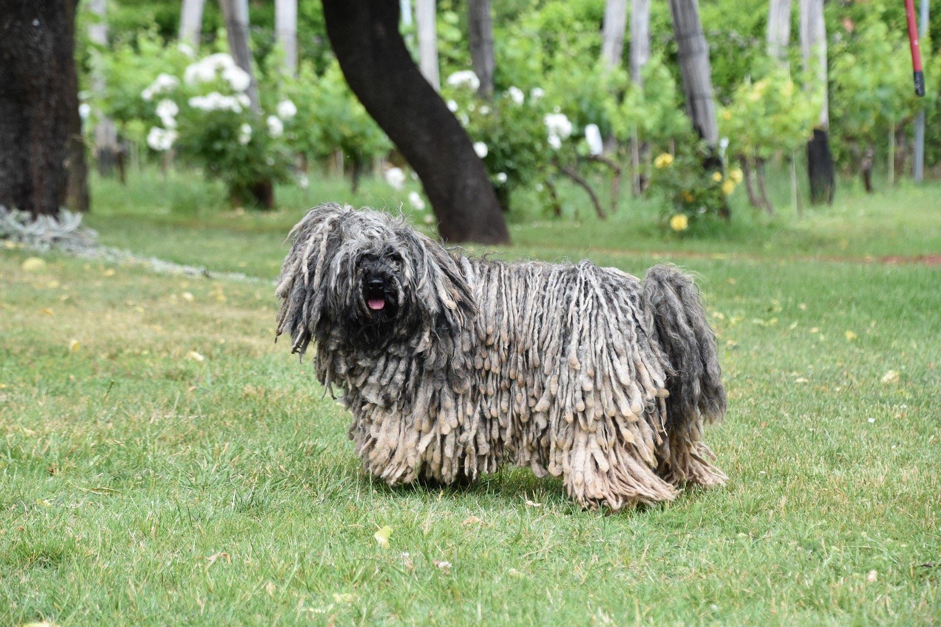 Komondor je ovčácký pes z Maďarska, který místo klasické srsti má dlouhé provazce zkroucené srsti.