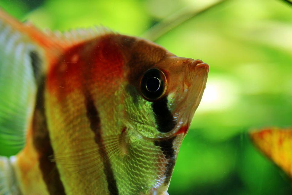 Ryba skalára si už dávno ukradla srdce většiny akvaristů.