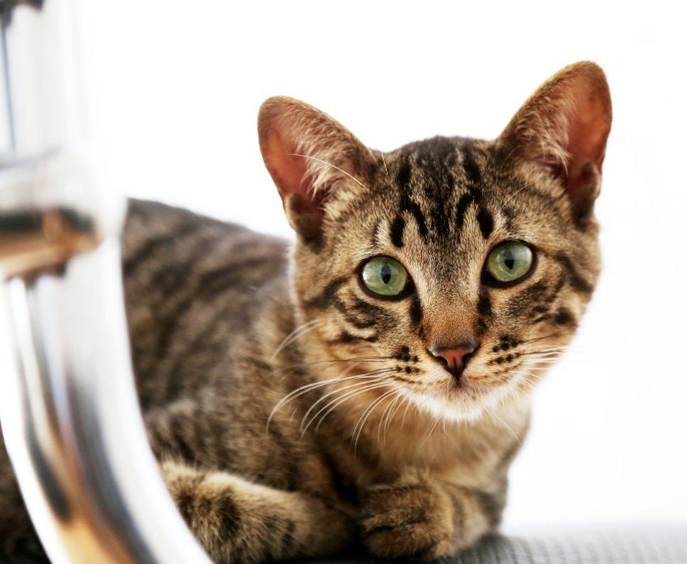 Jaký je charakter kočky toyger, jaká je její cena a proč se tak zamilovává do svých majitelů?