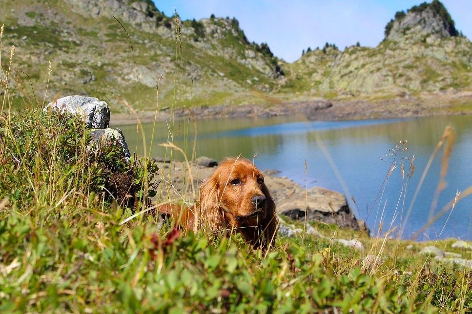 Anglický kokršpaněl je plemeno loveckého psa určeného k plašení ptáků.