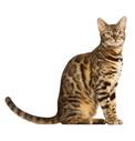 Krmivo pro bengálské kočky