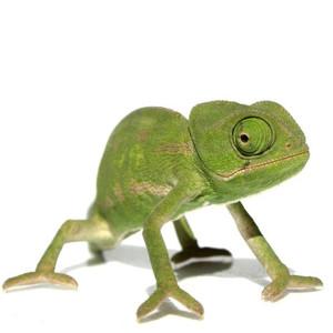 Krmivo pro chameleony