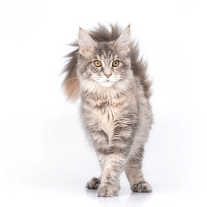 Krmivo pro mainské mývalí kočky