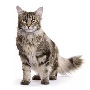 Krmivo pro norské lesní kočky