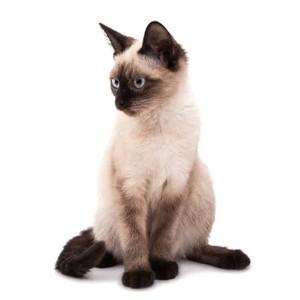 Krmivo pro siamské kočky