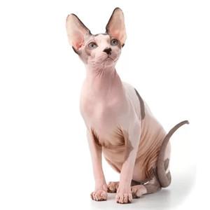 Krmivo pro sphynx kočky